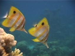 BeakedCoralFish255