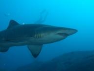 shark_petit.jpg